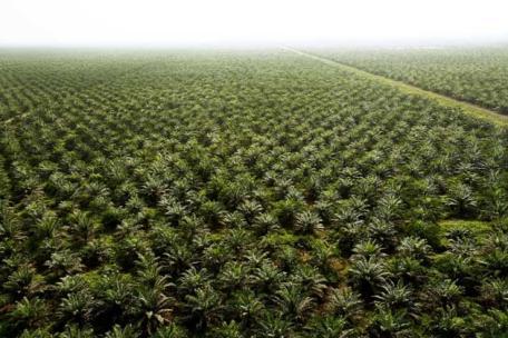 Planète : L'huile de palme, une bombe écologique