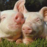 Planète : Tout n'est pas si bon dans le cochon !