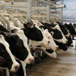 Planète : Le projet controversé de la ferme des 1000 vaches
