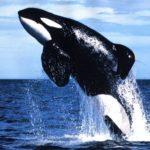 Interprétation du rêve de Lili : L'orque