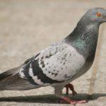 Rêves : rêver de pigeon