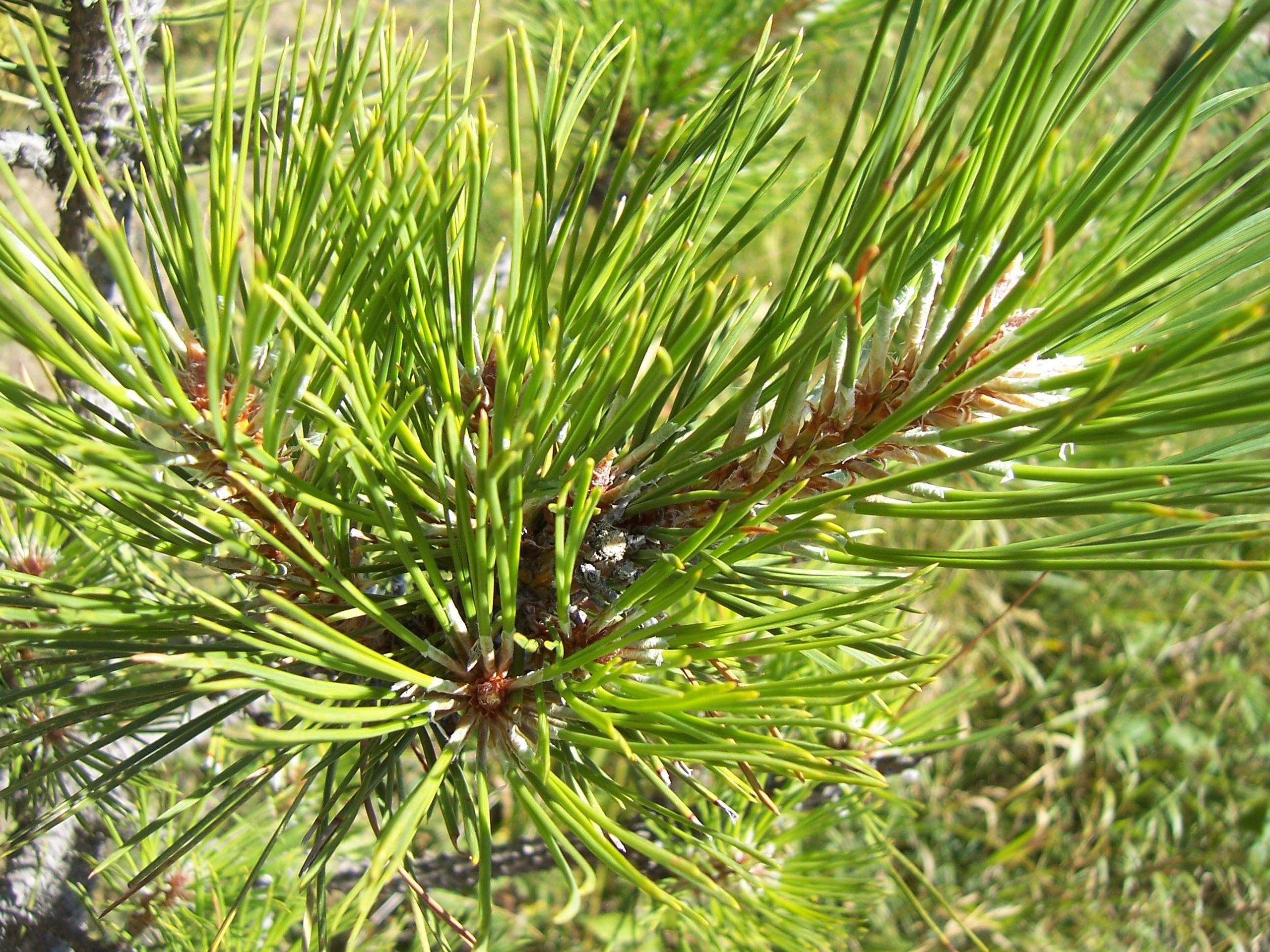 Les plantes : Le Pin