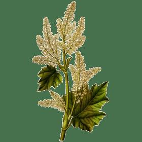 Plantes : la rhubarbe de Chine