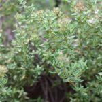 Les plantes : le thym