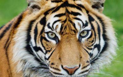 Rêver de tigre