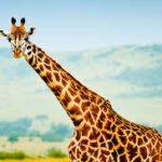 Rêver de Girafe