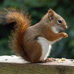 Les animaux totem: l'écureuil