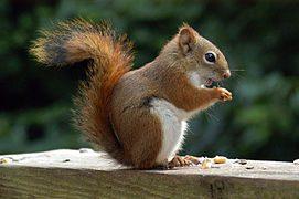 Animal-totem : l'écureuil