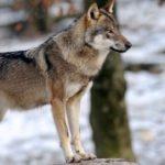 Animal-totem : le loup