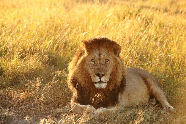 Animal-totem: le lion