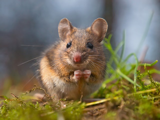 Animal-totem : la souris